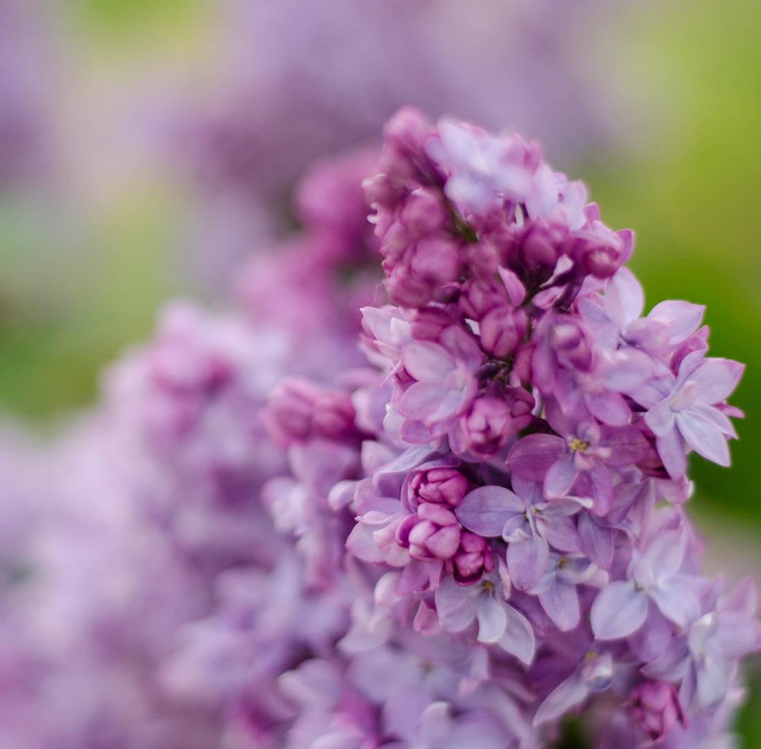 photo d'un lilas en fleur prise au 50mm 1.8